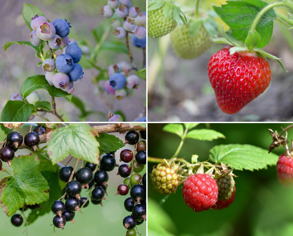blueberries-and-strawberries-substrate