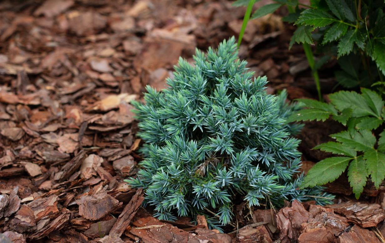 Lithuania-pine-bark